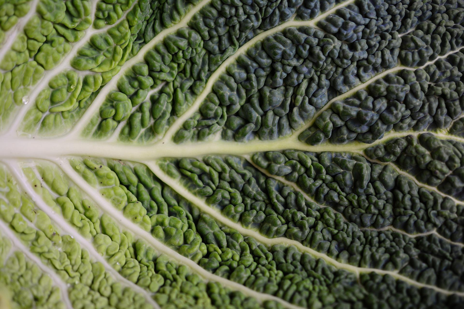 cabbage-leaf-2248343_1920