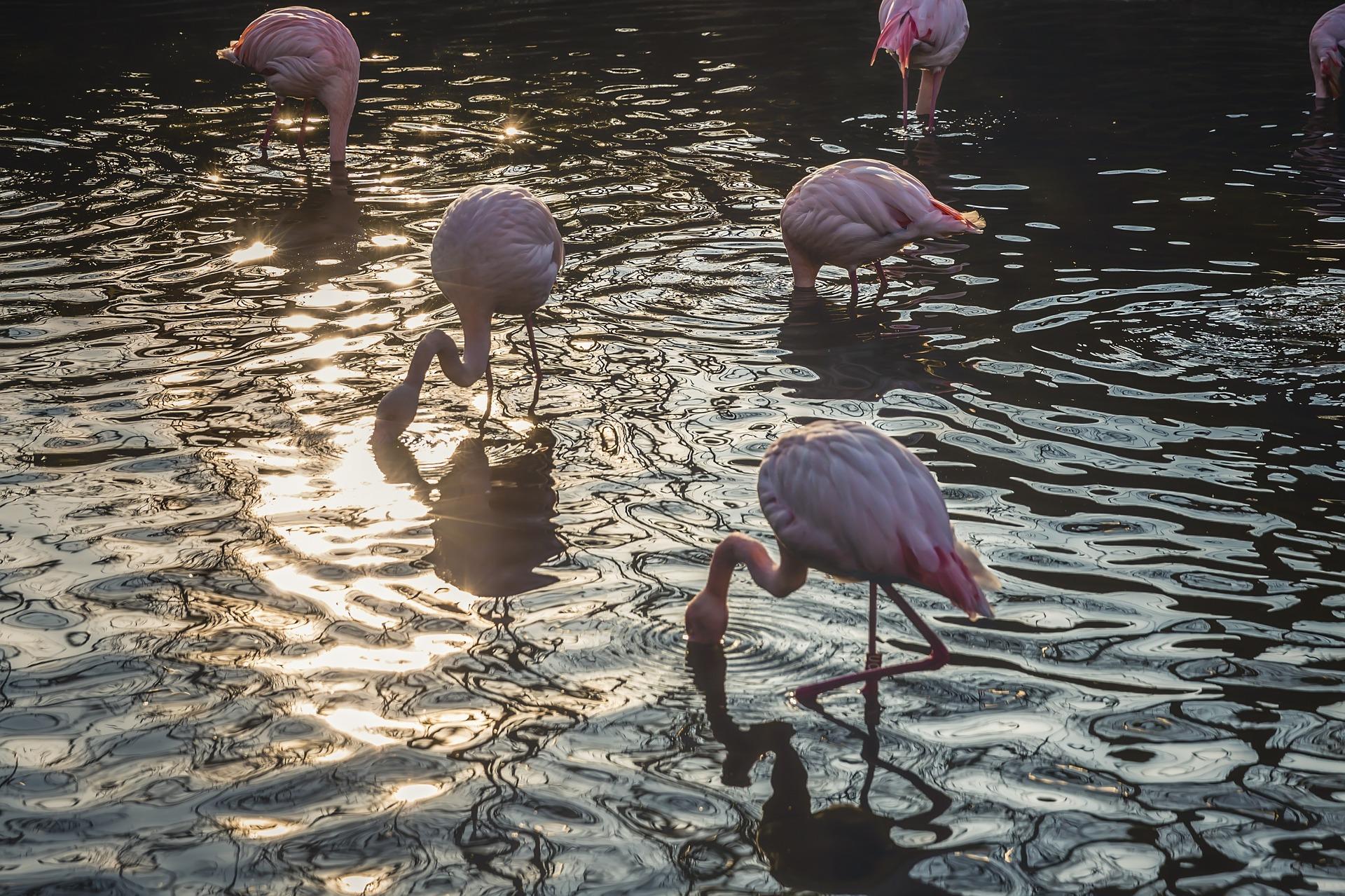flamingos-1245781_1920