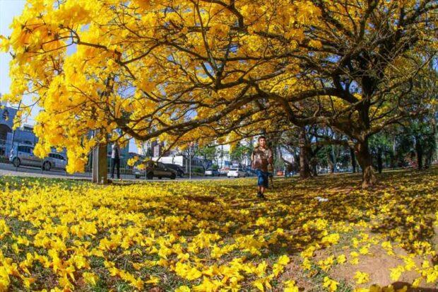 Foto de Ipê amarelo florido, com o chão coberto de flores